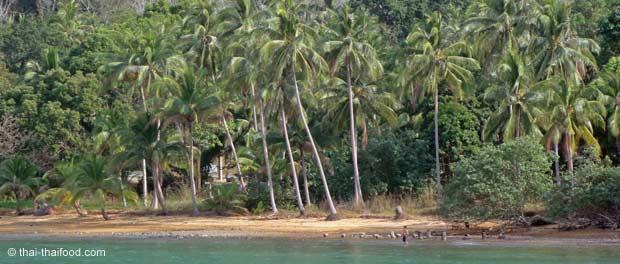 Kokospalmen auf der tropischen Insel Koh Chang