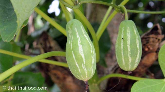 Unreife Frucht der Scharlachranke