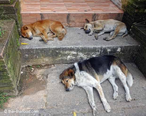 Asiatische Hunde