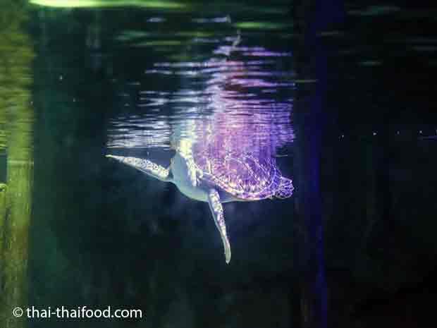 Wasserschildkröte im Sealife Bangkok