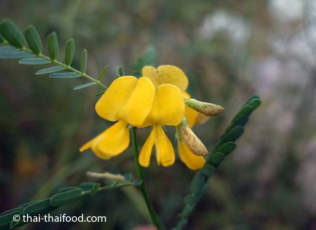 Sesbania javanica Blüte