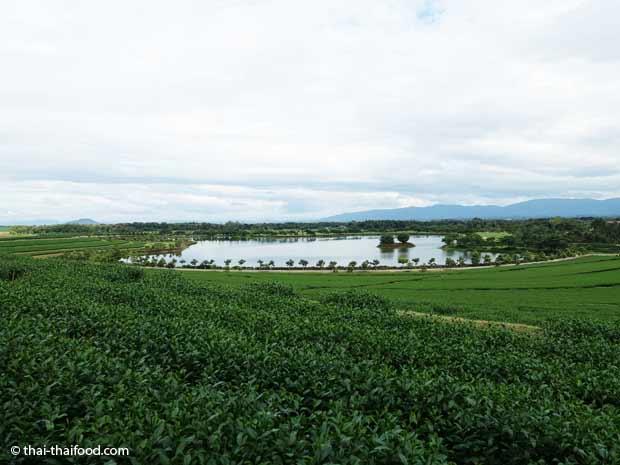 Teeplantage Singha Park