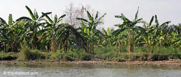 Bananenplantage am Fluss Kwai