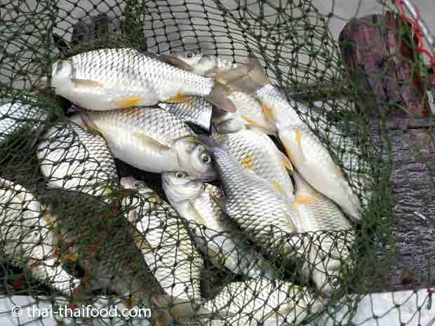Thai Silver Barb