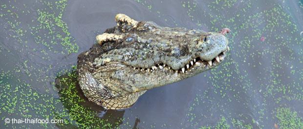 Thailändisches Krokodil
