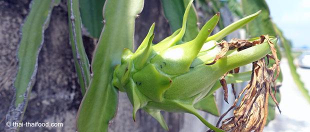 Hylocereus undatus Kaktus mit unreifer Pitahaya