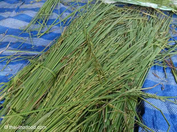 Noch grüne Reisähren