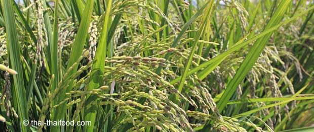 Reispflanzen der Reissorte Venere Reis
