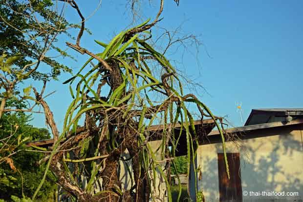 Drachenfrucht Kaktus