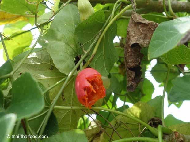 Von Vögeln angefressene reife Tindola Frucht