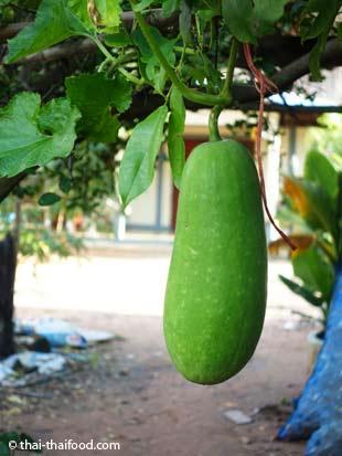 Wintermelone bzw. Wachskürbis an der Rankpflanze