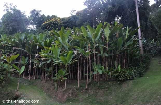 Bananenstaudenwald