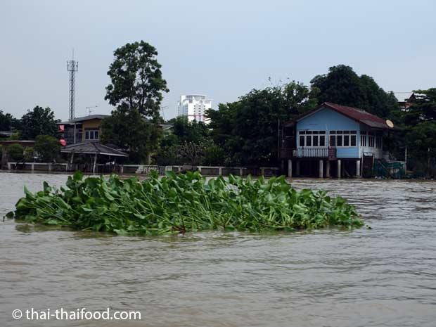 Viele Wasserpflanzeninseln schwimmen im Fluss