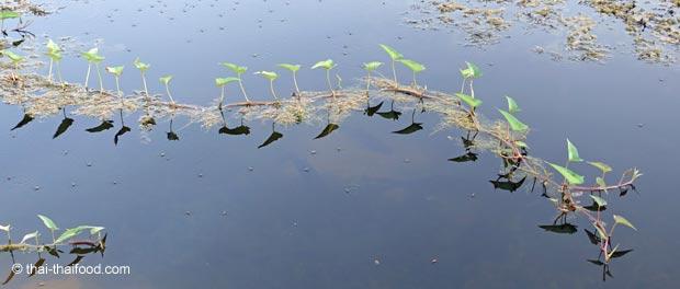 Wildwachsender Wasserspinat