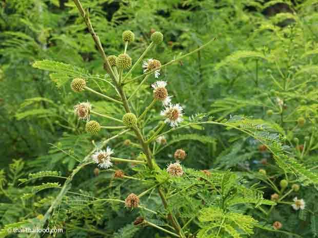 Blüten der weißkopfmimose
