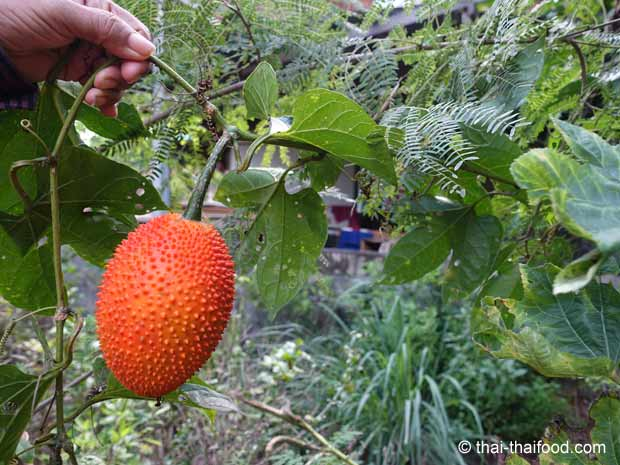 Gacfrucht Rankpflanze