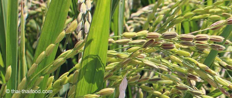 Reispflanze - Reispflanzen