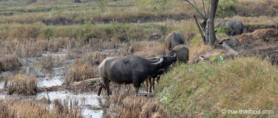 Thailand Wasserbüffel