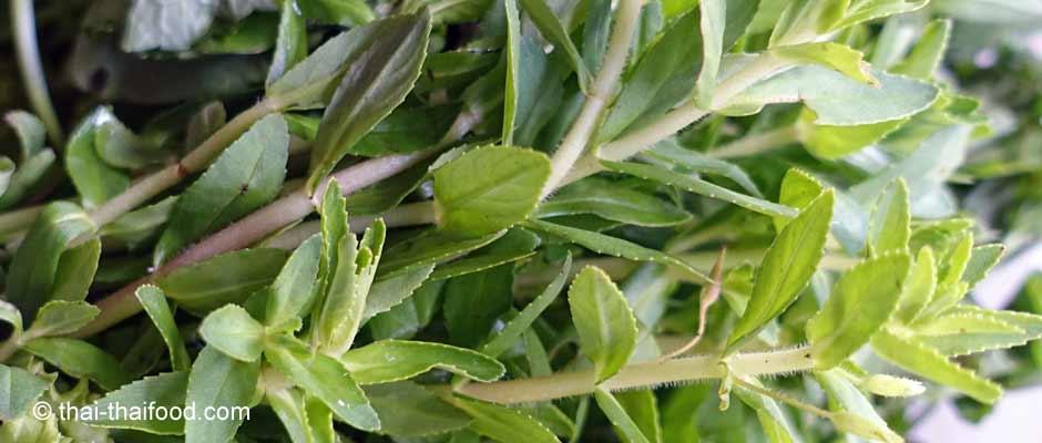 Die Reisfeldpflanze ist ein Gewürzkraut zum Würzen von Fisch