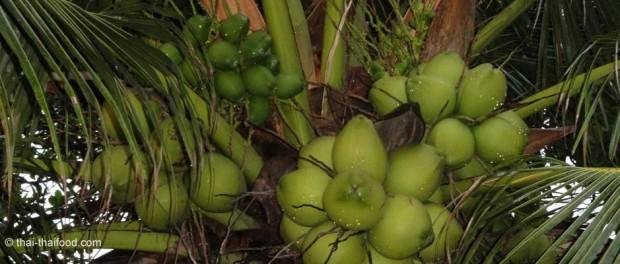 Kokosnüsse auf einer Kokospalme