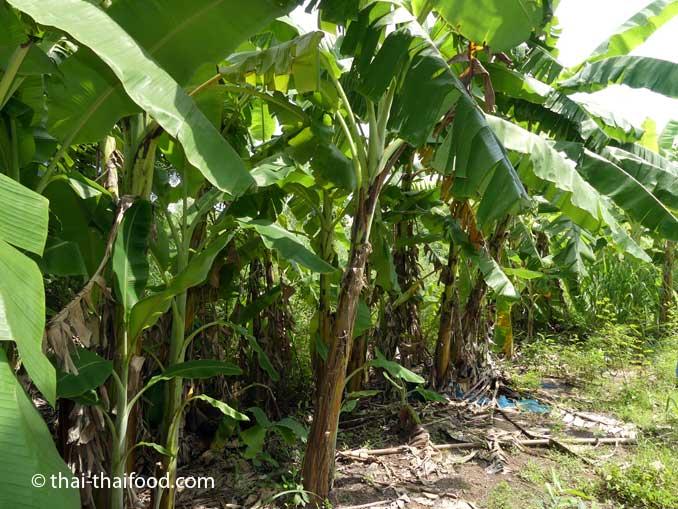 Bananenpflanzen in Thailand