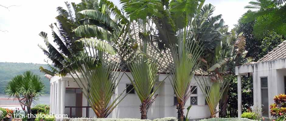 Ravenala | Baum der Reisenden | กล้วยพัด