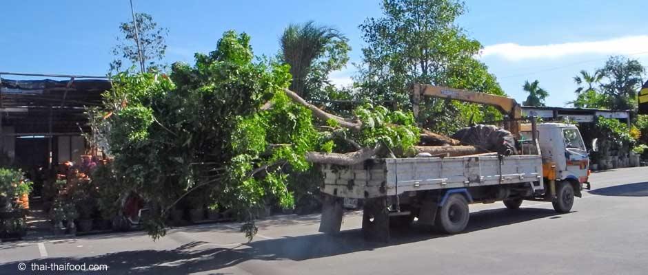 Große Bäume kaufen in Thailand