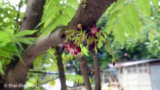 Gurkenbaum Blüten