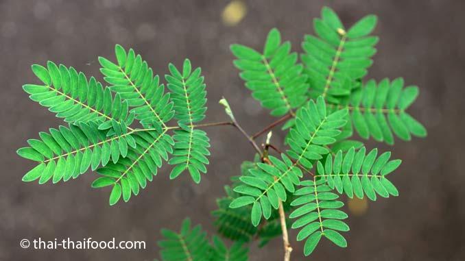 Blätter der Weißkopfmimose