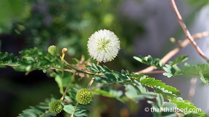 Blüte der Weißkopfmimose