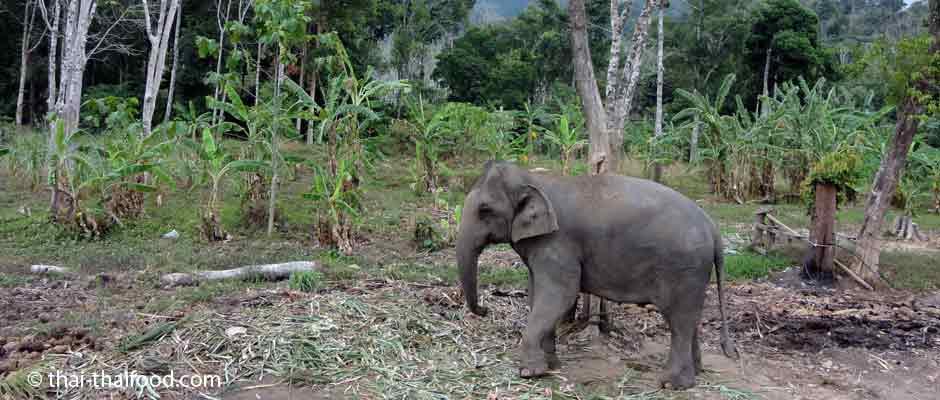 Elefantenfest in Surin