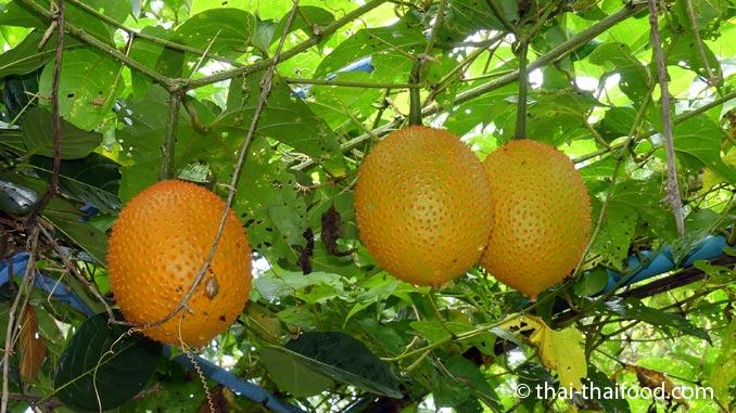 Gacfrucht Kletterpflanze mit Früchten