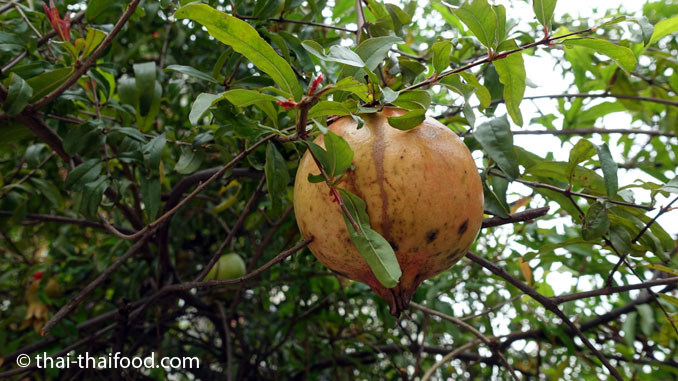 Granatapfelbaum mit Granatapfel in Thailand