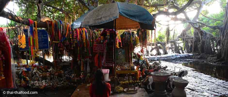 Heiliger Banyan Baum Sai Ngam in Phimai
