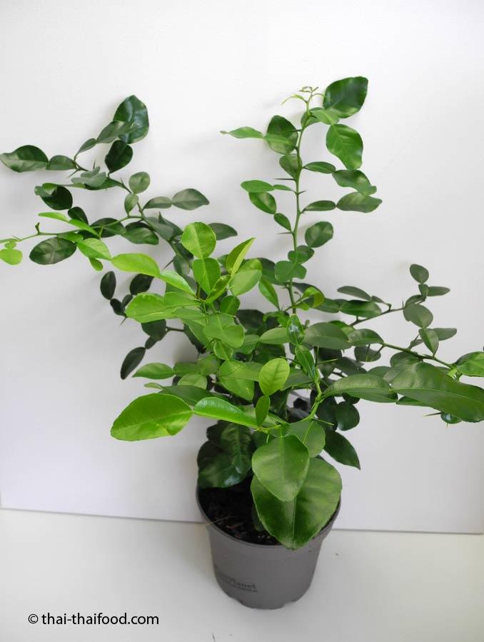 Makrut Pflanze