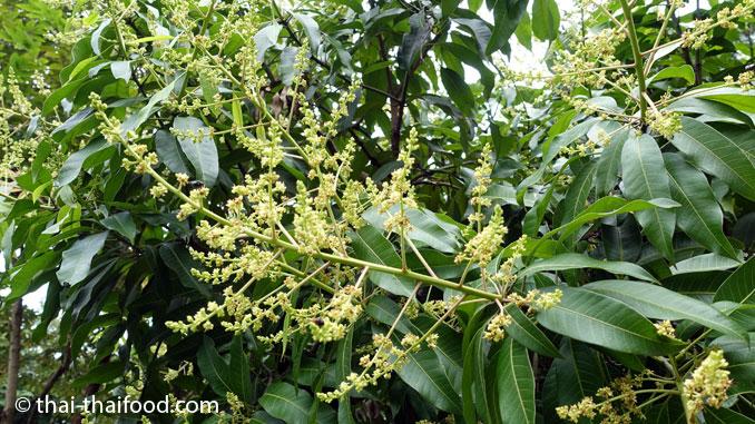 Mangobaum Blüten