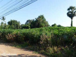 Maniok Thailand