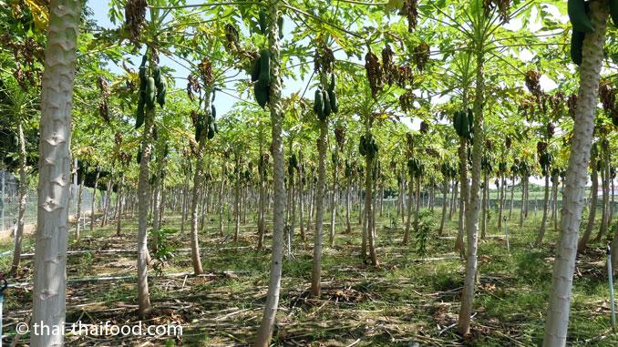 Papayafarm Thailand
