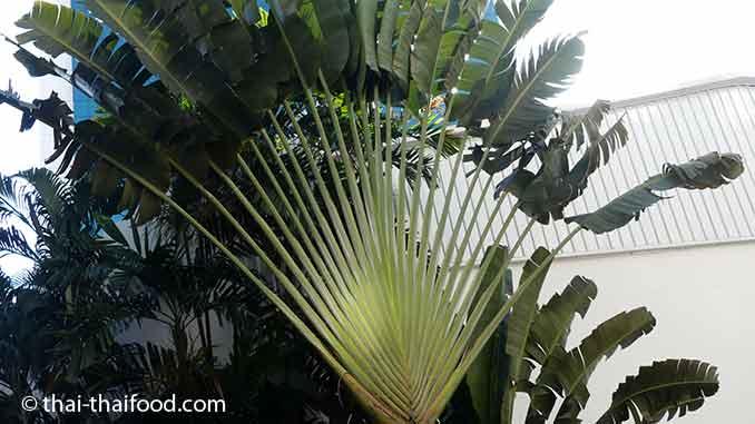 Ravenala Baum Palmblätter