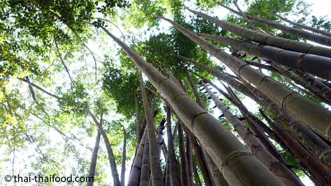 Riesenbambus im Garten