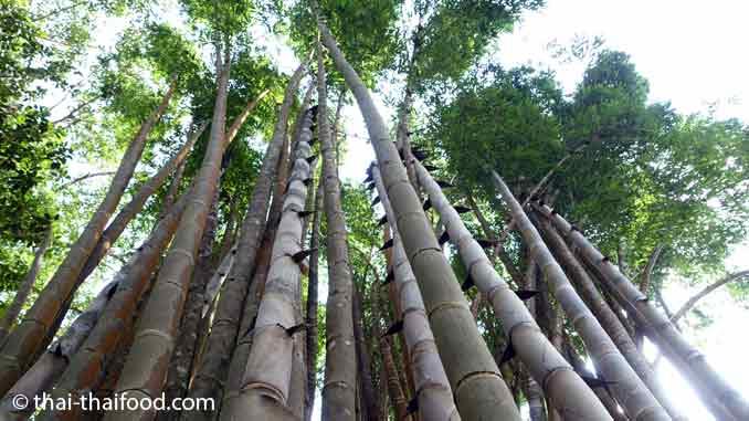 Bambus In Thailand Wachst 70 Cm Am Tag Und Wird Bis Zu 40 M Hoch