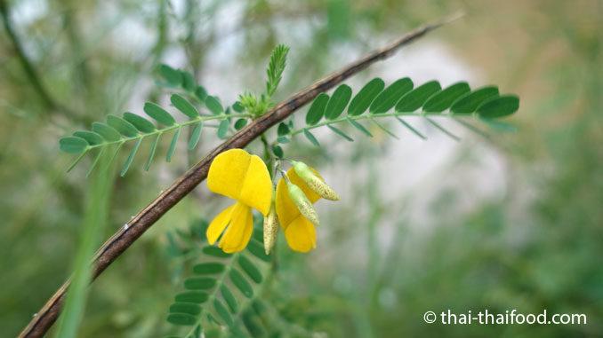 Sesbania Blüte