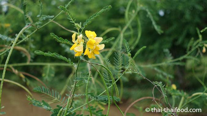 Sesbania Blätter und Hülsenfrüchte