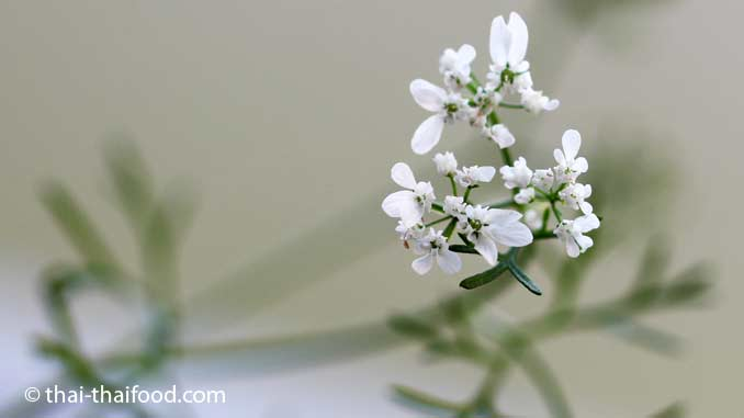 Korianderblüte